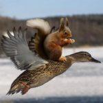 kaczka i wiewiór